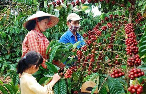 دانه قهوه برزیل